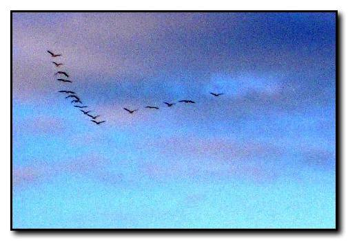 Geese flying north